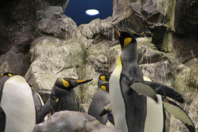 Милые и безумные пингвины Loro Parque